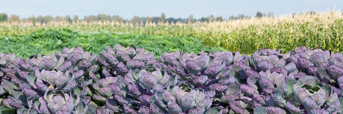 Purple Brocolli